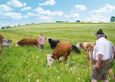 Hofmetzgerei Laufer - Rinder auf der Weide